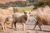 Sheep in the middle of a herd — Stock Photo
