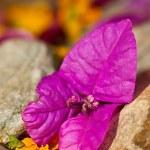 Single purple flower lying between rocks — Stock Photo