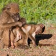 Mother baboon searching for ticks and fleas — Stock Photo