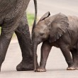 Baby elephant walking besides his mother — Stock Photo #18818467