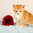 Adorable little kitten standing next to a red flower — Stock Photo