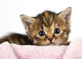 Kitten lying with his head on a pink blanket — Stock Photo