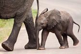 Baby elephant walking besides his mother — Stock Photo