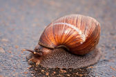 Snail moving on wet surface — Stock Photo