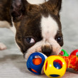 Boston terrier puppy play - Stock Photo