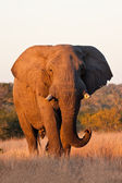 Elephant bull walking in nature — Stock Photo