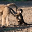 Baby baboon playing with mother - Stock Photo