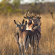 Herd of impala walking along road — Stock Photo