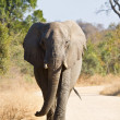 Stock Photo: Elephant bull walking in nature
