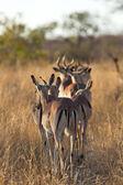 Herd of impala walking along road — Stock Photo