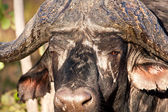 Cape buffalo standing looking — Stock Photo