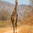 Stock Photo: Giraffe walking along road