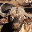 Cape buffalo standing looking - Stock Photo