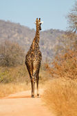 Giraffe walking along a road — Stock Photo