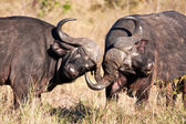 Two cape buffalo figting in long grass — Stock Photo