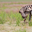 Zebra standing in nature - Stock Photo