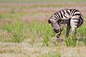 Zebra standing in nature — Stock Photo