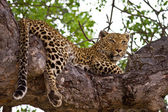Leopard lying in tree — Stock Photo