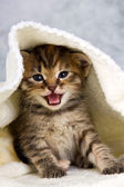 Kitten closed in towel — Foto de Stock