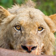 Angry lion stare portrait closeup hungry upset yellow eyes - Stock Photo
