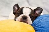 Boston terrier puppy sleep — Stock Photo