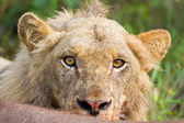Angry lion stare portrait closeup hungry upset yellow eyes — Stock Photo