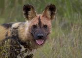 Wild dog walk in the grass — Stock Photo
