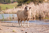 Sheep walking on farm — Stock Photo