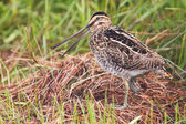 African snipe in wetland — Foto Stock