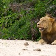 Male lion rest on river bed — Stock Photo