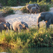 Herd of elephant play next to river — Stock Photo