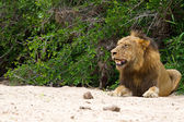 Male lion rest on river bed — 图库照片