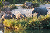 стадо слонов играть рядом с рекой — Стоковое фото