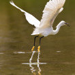 Little white egret take off — Stock Photo #24366807