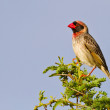 Red bille quelea sitting on green branch — Stock Photo