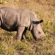 Rhino standing in nature calf — Stockfoto