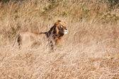 Mannetjes leeuw lopen in bruin gras — Stockfoto