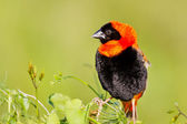 Red bishop sitting on grass — Stock Photo