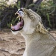 Lioness yawn with teeth — Stock Photo