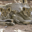 Lioness with cubs — Stock Photo #24904075