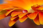 Macro de gouttes sur la fleur d'oranger — Photo