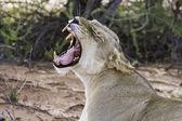 Leeuwin geeuw met tanden — Stockfoto