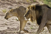 Lion male and lioness hunting — Stock Photo
