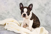 Boston terrier sitting on white towels — Stock Photo