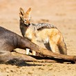 Black backed jackal eating dead - Stock Photo