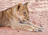 Lion cub lay on brown sand — Stock Photo