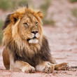 Male lion lay in kgalagadi — Stock fotografie #25750757
