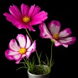 Cosmos pink and white flower — Stock Photo