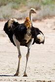Ostrich walking in the desert — Stock Photo