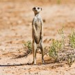 Stock Photo: Suricate standing on sand